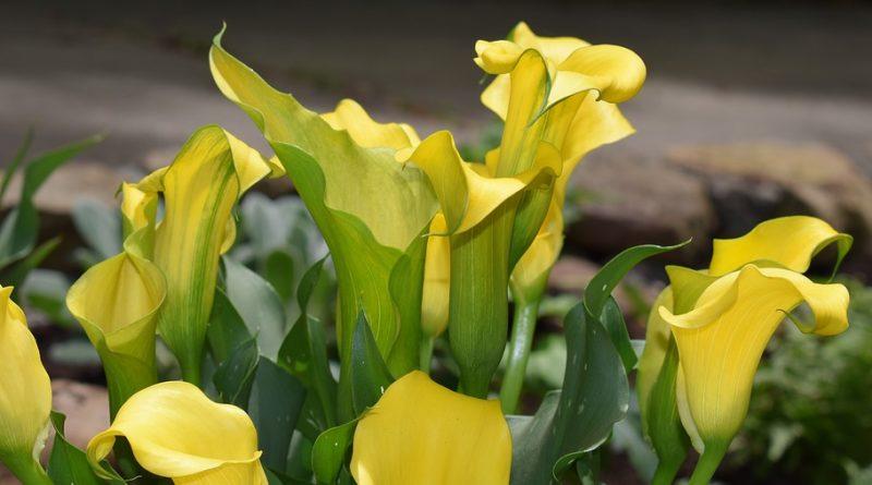 Čtyři jedovaté pokojové rostliny, které mohou ublížit dětem