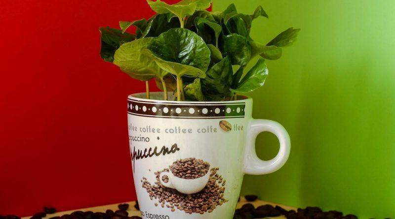 Vypěstujte si exotický kávovník, který doma jen tak někdo nemá