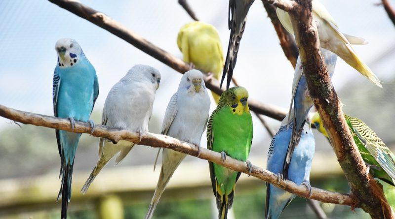 Jakého papouška si vybrat pro domácí chov? Zeptali jsme se odborníků
