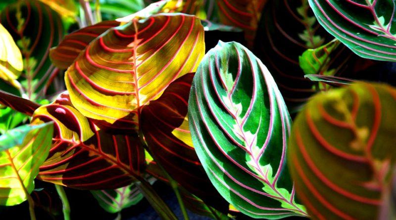 I květiny s barevnými listy si najdou své místo v interiéru