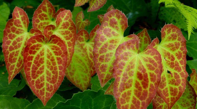 Škornice dokáže zázraky. Co všechno známá neznámá rostlina umí?